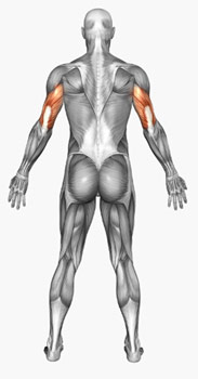 triceps musculos